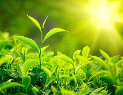 5 cách sử dụng trà xanh cho da mặt sáng hồng - 1